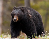 Black Bear on the Road to Tower.jpg