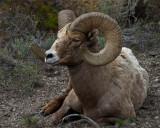 Recumbant Ram.jpg