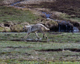 Grey Wolf Running Through the Water.jpg