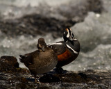 Male and Female Harlequin Ducks at LeHardy Rapids.jpg