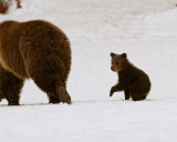 Grizzly COY Following Mom at Lake.jpg