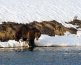 Grizzly Boar at LeHardy Rapids.jpg
