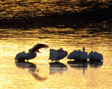 Pelican Dawn.jpg