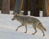 Coyote in the Snow at Lake.jpg
