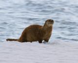 Otter at Mary Bay.jpg