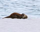 Otter Rolling in the Snow.jpg
