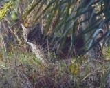 Bobcat in the Brush.jpg