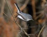 Blue Grey Gnatcatcher on the Move.jpg