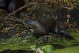 Otter on Alligator Alley.jpg