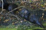 Otter Eating.jpg