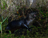 Otter at the Junction.jpg