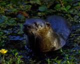 Otter Close-up.jpg