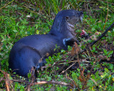 Otter Eating in the Weeds.jpg