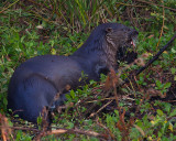 Otter Eating in the Weeds 2.jpg