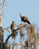 Turkey and Eagle in a Tree.jpg