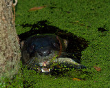 Otter in the Algae with a Mouthful.jpg