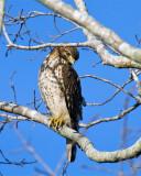 Cooper's Hawk on wading bird way.jpg
