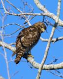 Cooper's Hawk on Wading Bird Way 2.jpg