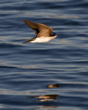 Tree Swallow Over the Lake.jpg