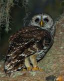 Barred Owl on Shady Oak 3.jpg