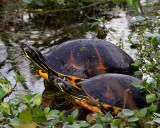 Two Turtles on Alligator Alley.jpg