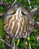 American Bittern on Marsh Rabbit Run.jpg