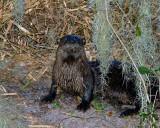 Otter on Marsh Rabbit Run 2.jpg