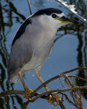 Black Crown Night Heron on Alligator Alley.jpg