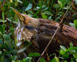 American Bittern on Alligator Alley.jpg
