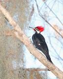 Pileated Woodpecker on Alligator Alley.jpg