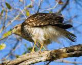 Hawk on Marsh Rabbit Run 2.jpg