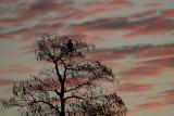Eagle at Dawn.jpg