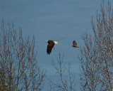 Bald Eagle Being Chased by a Red Shoulder Hawk.jpg