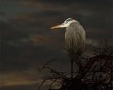 Great Blue Heron Against the Dawn Sky.jpg