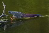 Green Heron Strikes.jpg