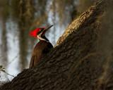 Pileated Woodpecker on a Branch.jpg