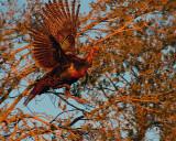 Turkey on the Wing.jpg