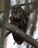 Barred Owl Vertical.jpg
