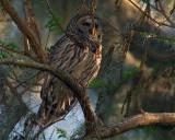 Barred Owl on Alligator Alley at Sunset.jpg