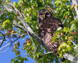 Barred Owl Momma in the Tree.jpg