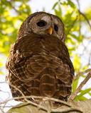 Barred Owl Male on Alligator Alley.jpg
