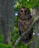 Barred Owl Male on a Branch.jpg