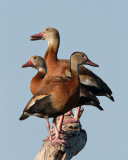 Whistling Ducks in a Row.jpg
