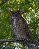 Great Horned Owl Watching Over.jpg