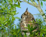 Great Horned Owl Closeup.jpg