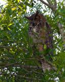 Great Horned Owl Blending In.jpg