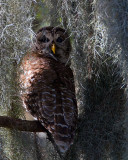 Barred Owl Female in the Moss.jpg