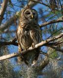 Barred Owl in the Sun.jpg