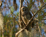 Barred Owl Male on the Tree.jpg