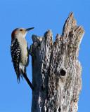 Red Bellied Woodpecker on Top of the Tree.jpg